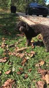 Miniature Poodle Stud 1 y/o  Listing Image