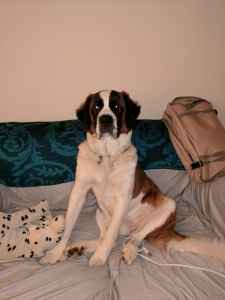 St Bernard needs male - (PREMIUM ACCOUNT - FREE TO CONTACT) Listing Image