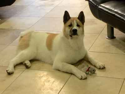Looking to mate my female Akita  Listing Image