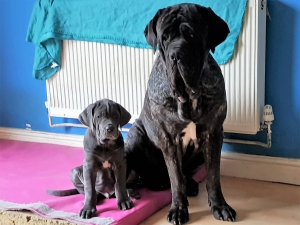 NEAPOLITAN MASTIFF BLACK BRINDLE FOR STUD £600 Listing Image