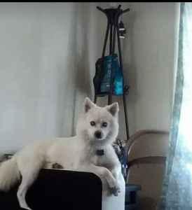 Purebred American Eskimo dog Listing Image