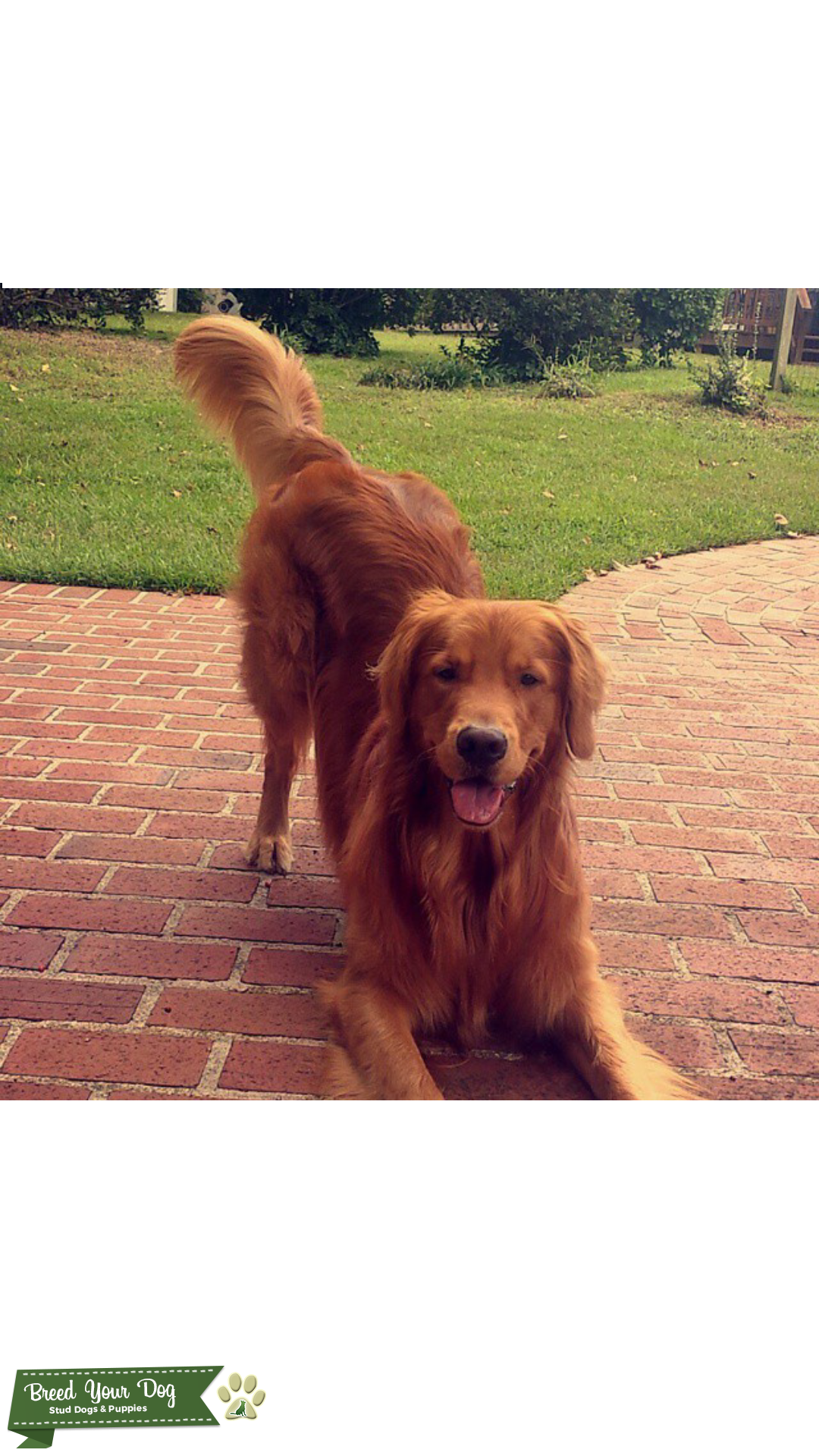 Golden Retriever Stud Looking for Female Listing Image Big