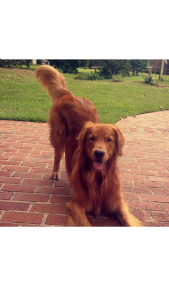 Golden Retriever Stud Looking for Female Listing Image