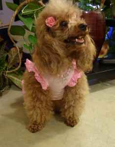 Red female miniature poodle Fee-Fee is looking for male to breed Listing Image