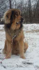 Mighty Kaine- Tibetan Mastiff from Hungary  Listing Image