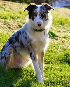 Tri Merle Border Collie Looking To Breed Listing Image