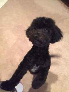 Black Bichon /Poodle 1 and a half years old  Listing Image