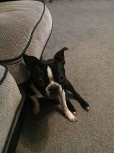 Healthy champion bloodline Boston terrier Listing Image