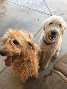 White labradoodle - double doodle Listing Image