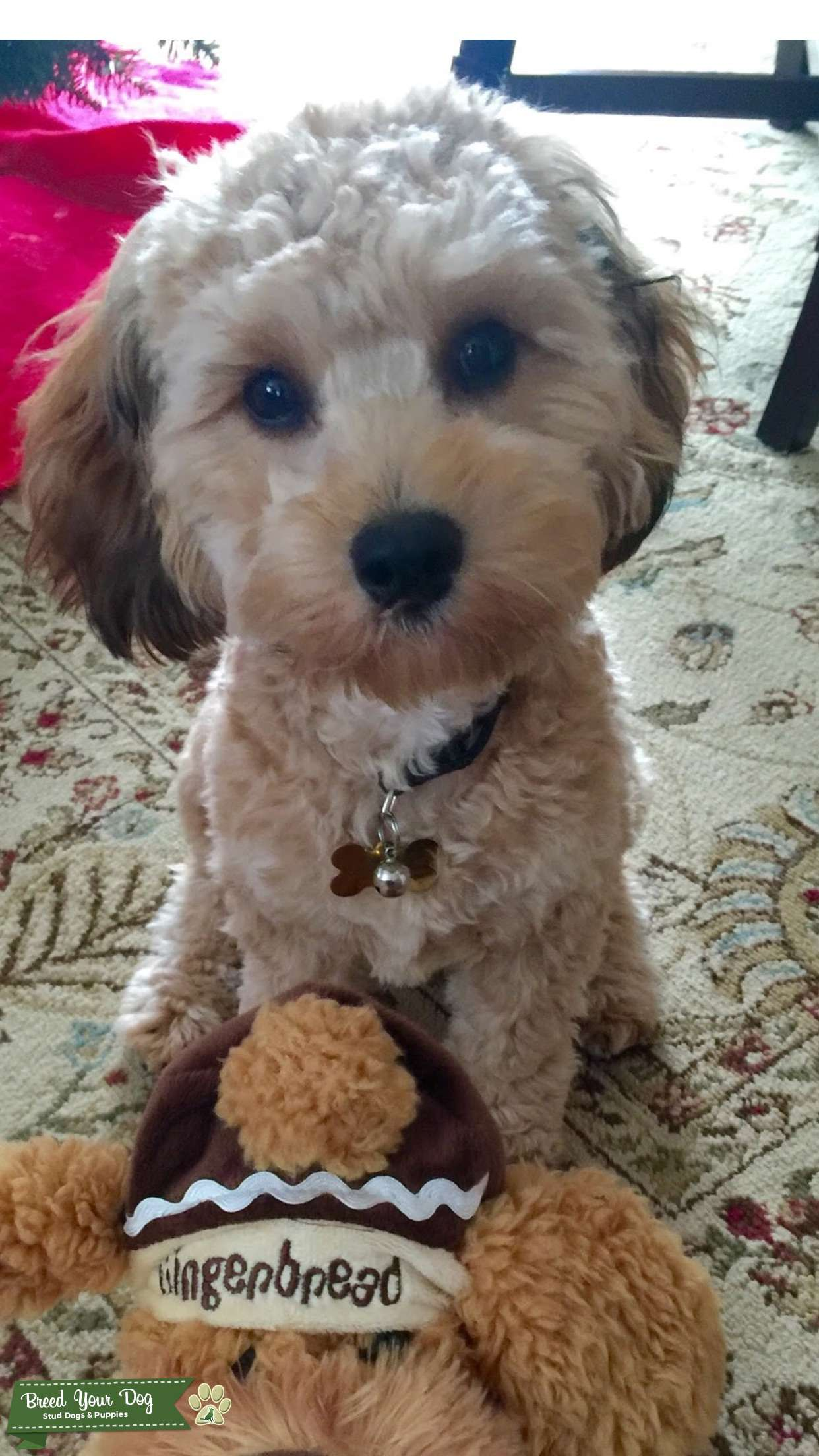 Cavapoo looking for females  Listing Image Big