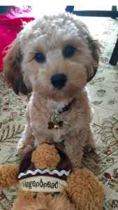 Cavapoo looking for females  Listing Image