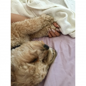 Cavapoo looking for females  Listing Image Thumbnail