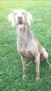 Male Silver Weimaraner  Listing Image