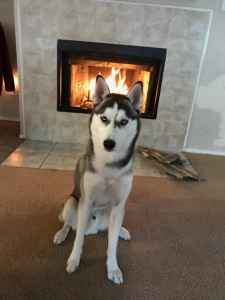 CKC certified Siberian husky looking for female Listing Image