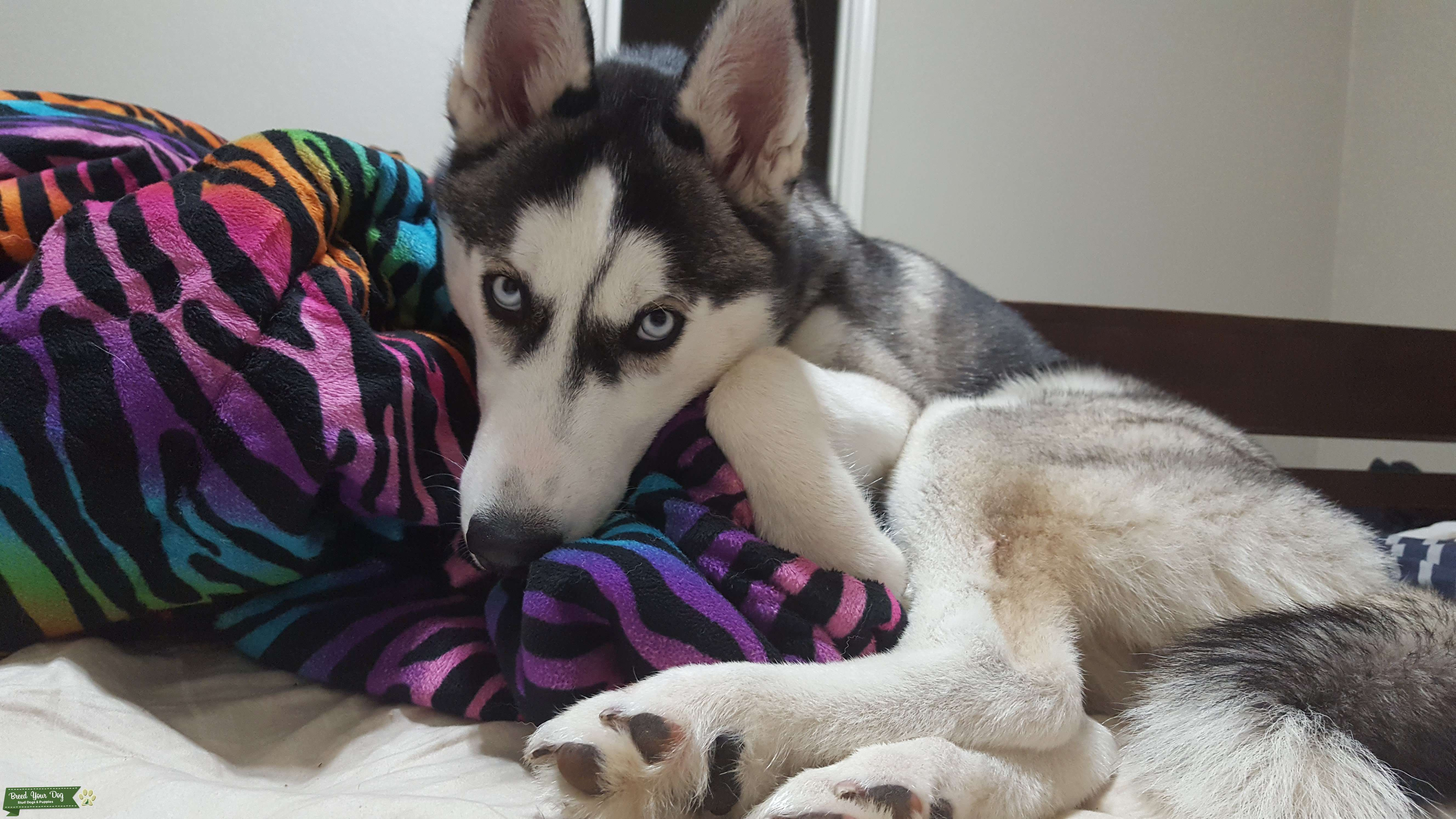 CKC certified Siberian husky looking for female Listing Image Big