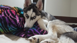 CKC certified Siberian husky looking for female Listing Image Thumbnail