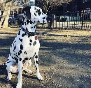 AKC Dalmatian Listing Image