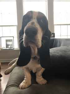 Euro Basset Looking for stud  Listing Image