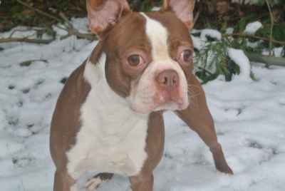 Thumb_lilac-boston-terriers-595b58ed23007