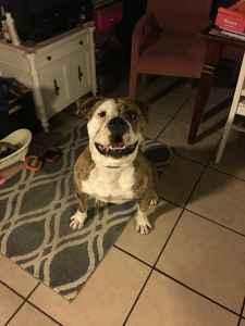 American Bulldog Stud Listing Image