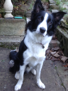 Male border collie for stud Tyne and wear Listing Image