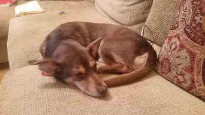 Rat Terrier Mix Listing Image