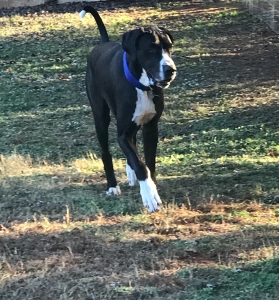 Mantle Great Dane stud Featured Image