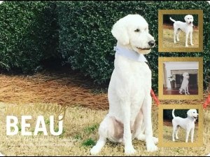 AKC Standard Poodle For Stud  Listing Image