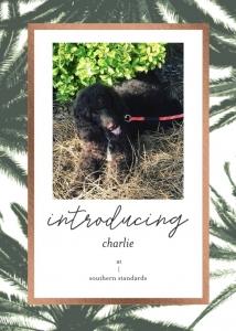 AKC Standard Poodle For Stud  Listing Image Thumbnail