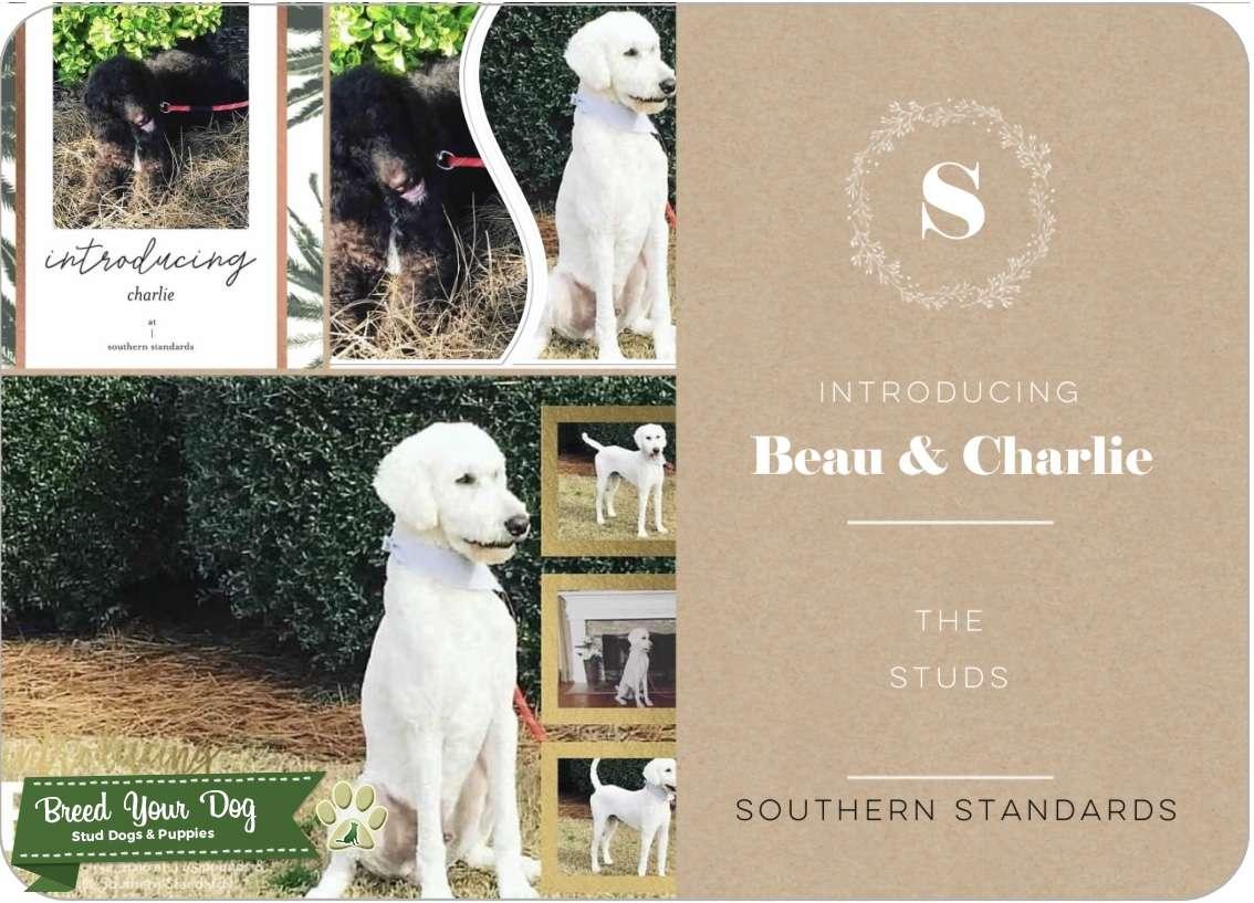 AKC Standard Poodle For Stud  Listing Image Big