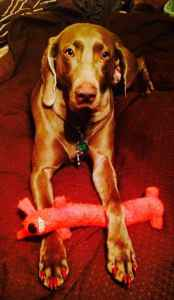 Weimaraner bitch looking to breed her.  Listing Image