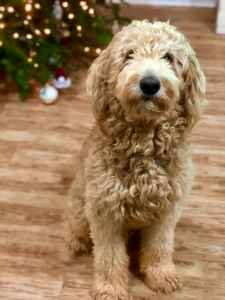 apricot f1b goldendoodle stud Listing Image