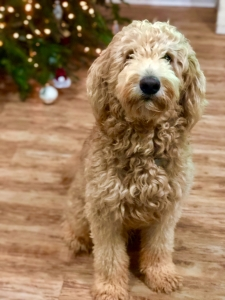 apricot f1b goldendoodle stud Listing Image Thumbnail