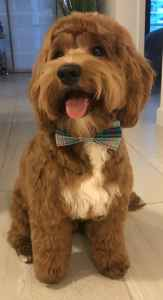 Mini Goldendoodle - Proven Stud Listing Image