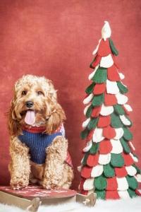 Mini Goldendoodle - Proven Stud Listing Image Thumbnail