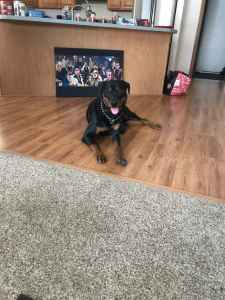 Strong Male Rottweiler Stud  Listing Image
