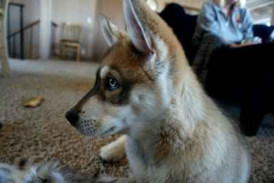 Wolf Malamute Dog Looking for Girlfriend! Listing Image