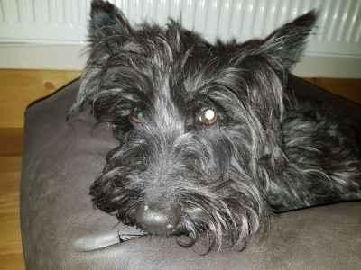 Scottish terrier stud dog wanted Listing Image