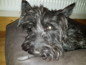 Scottish terrier stud dog wanted Listing Image