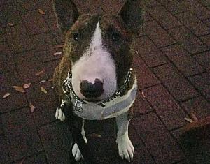 Miniature Bull Terrier  Listing Image