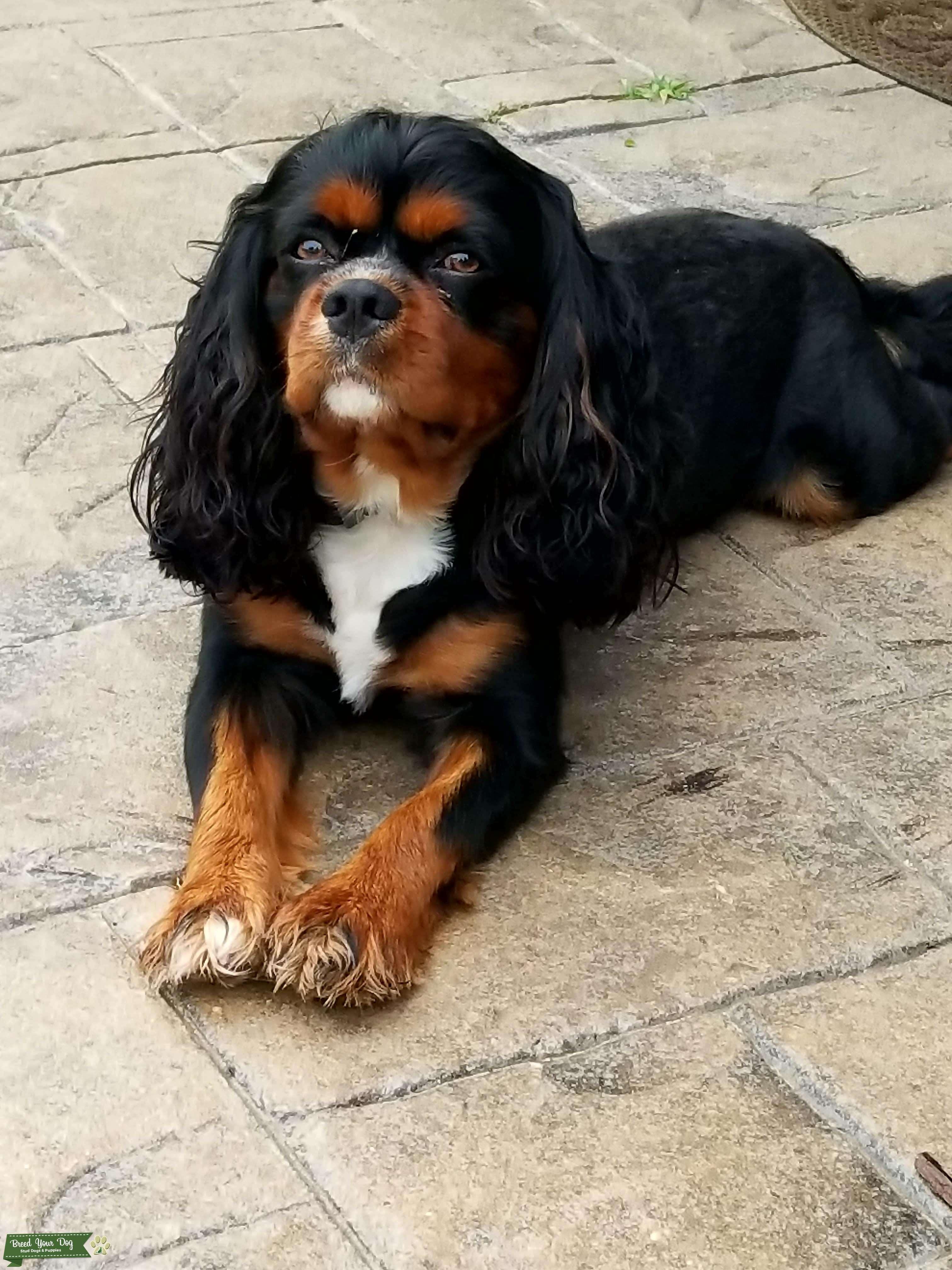 Stud Dog - Cavalier King Charles