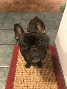 Brindle French Bulldog  Listing Image