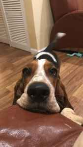 2 Y.O. Tricolor Female European Pure Bred Basset Hound  Listing Image