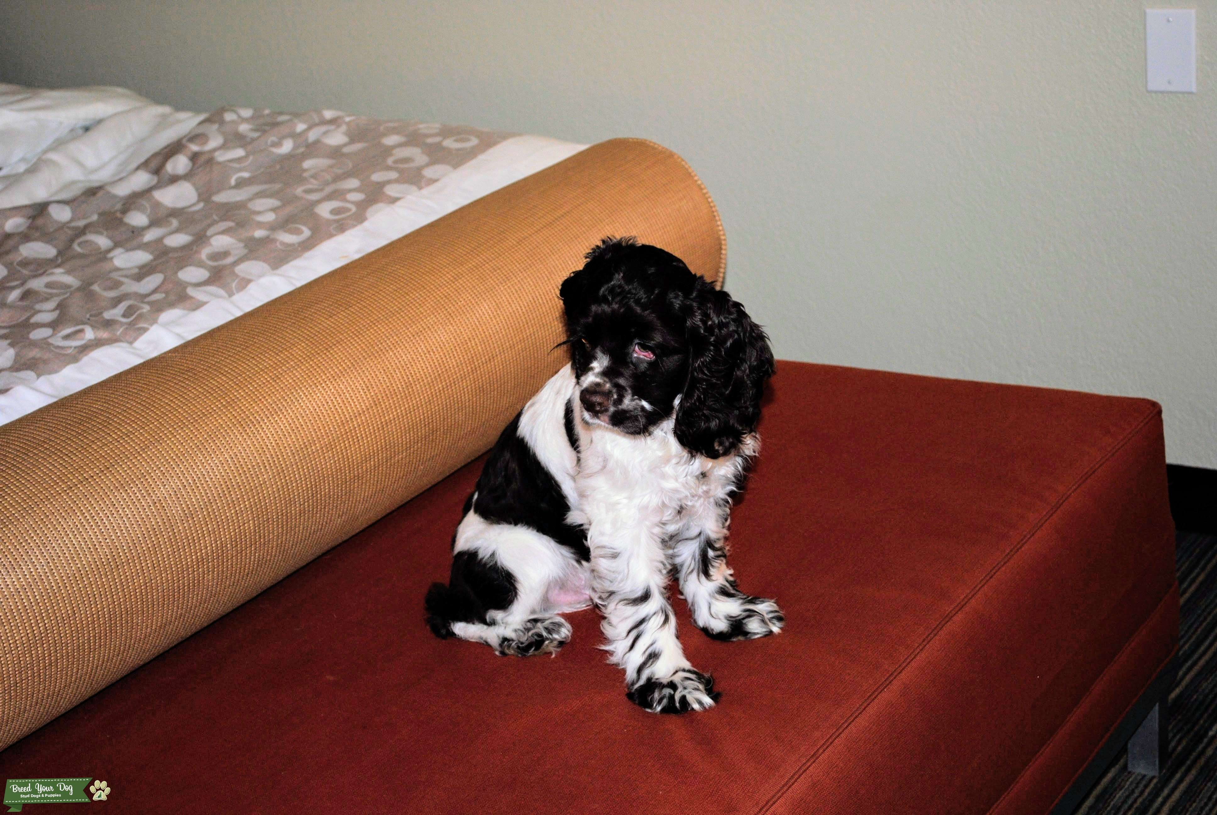 perfect in every way american cockerspaniel male ready to stud Listing Image Big