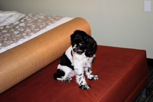 perfect in every way american cockerspaniel male ready to stud Listing Image Thumbnail