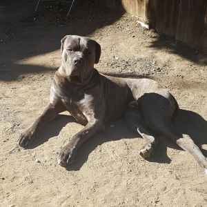 cane corso male 4 years  Listing Image