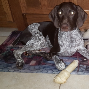 Liver/Speckled GSP looking for his perfect match Listing Image