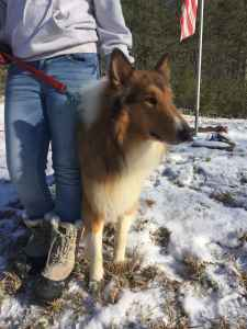 AKC registered male rough collie for stud Listing Image