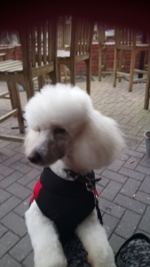 Male poodle  Listing Image