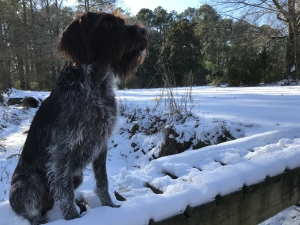 Wire haired pointer griffon  Listing Image